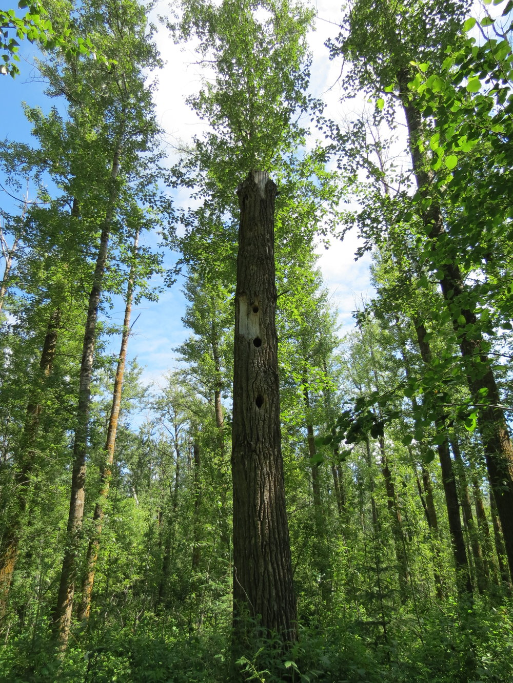 Snag providing habitat for many creatures