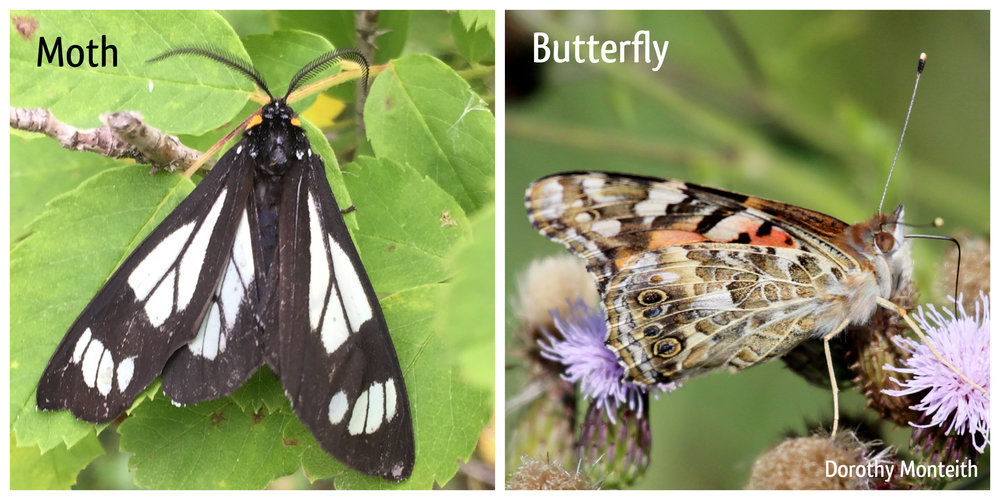 Moth Butterfly Comparison.jpg