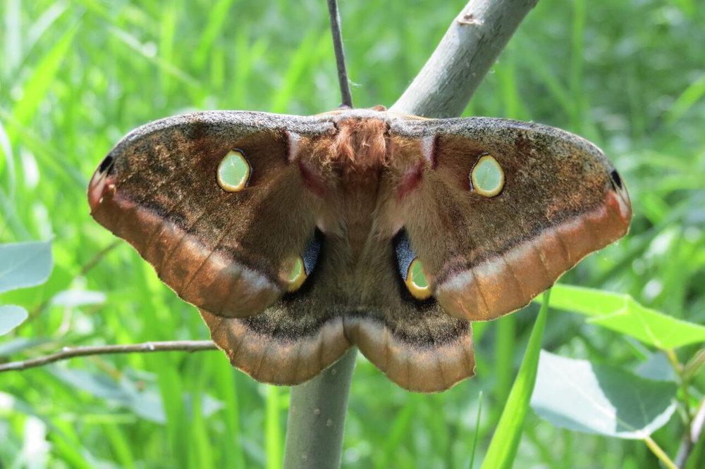 Polyphemus moth.jpg
