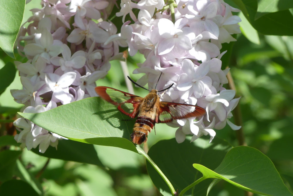 Hummingbird Clearwing - EALT.jpg