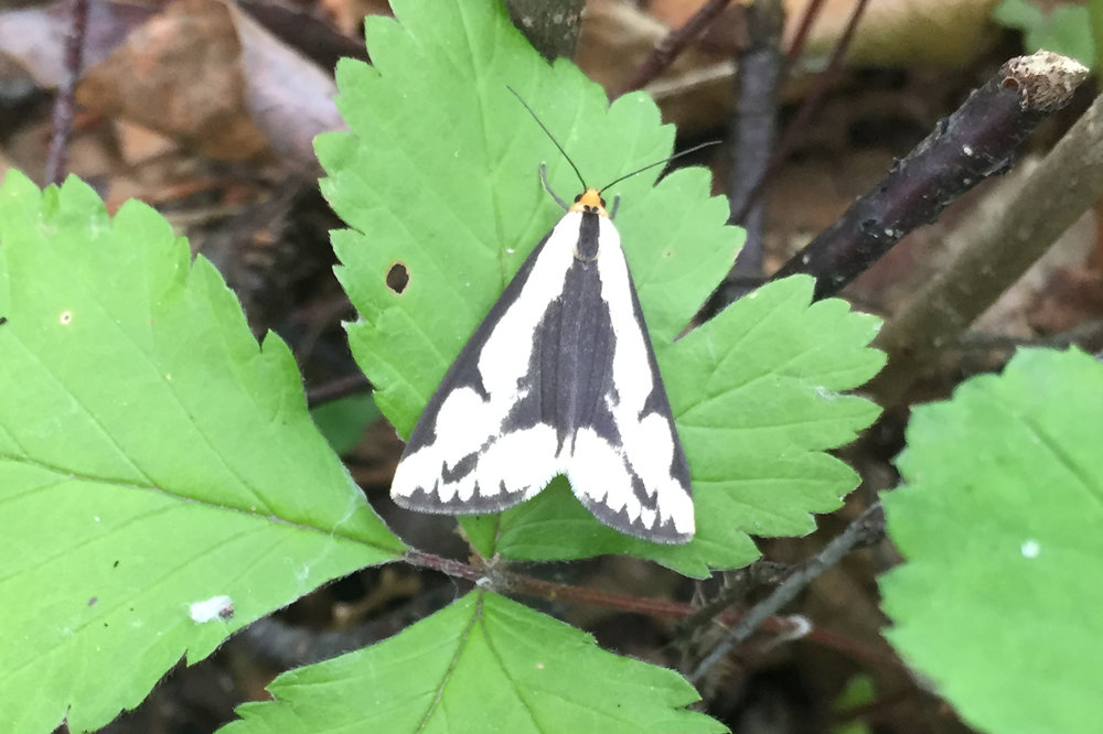 LeConte's Haploa Moth.JPG