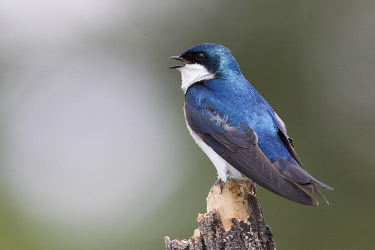 Tree Swallow by Gerald Romanchuk
