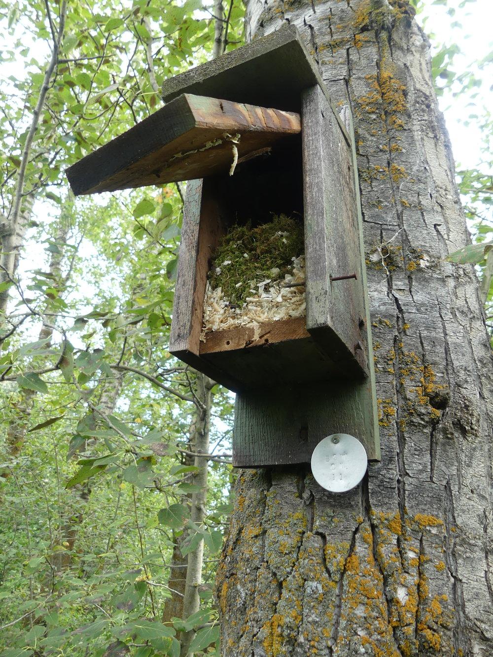 A Black-capped Chickadee nest at Boisvert's Greenwoods