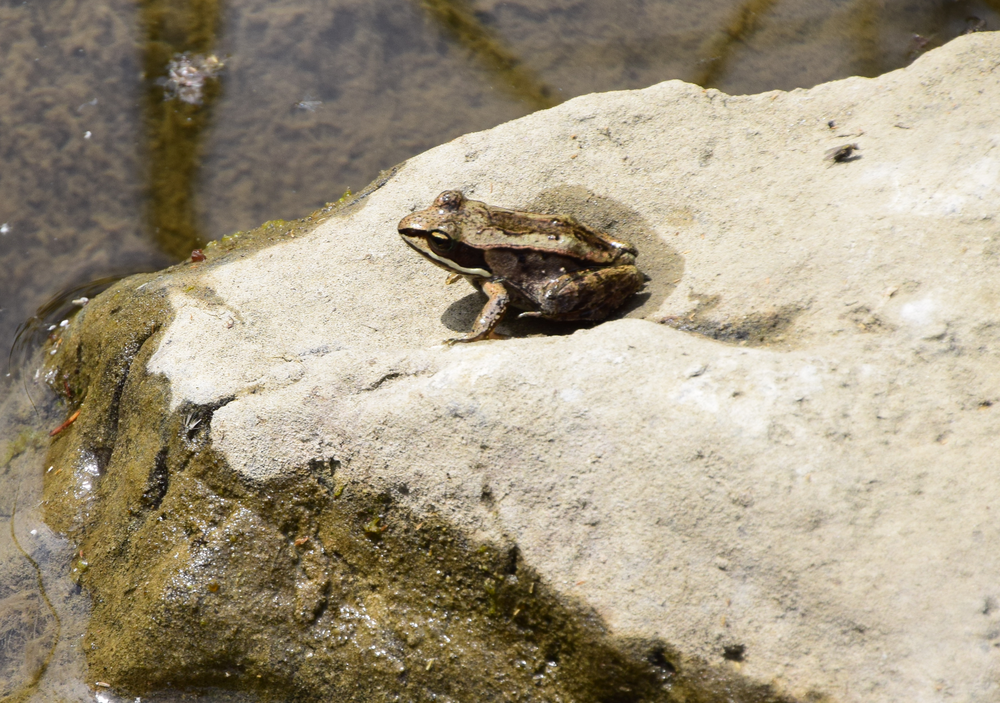 wood frog - EALT - Copy.png