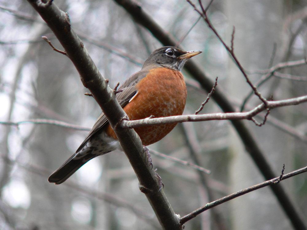 Robin by Doris May