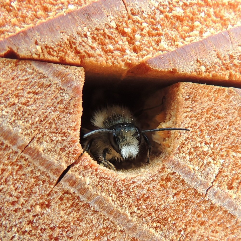 A bee looks out from inside a bee hotel in England at Sandy, Bedfordshire.  Orangeaurochs/Wikimedia Commons (CC BY 2.0)