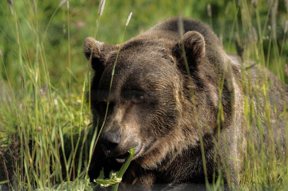 Grizzly Bear by Barb Eglinski