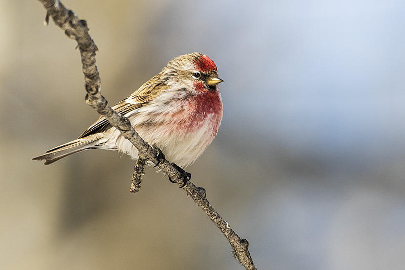 Common Redpoll by Gerald Romanchuk