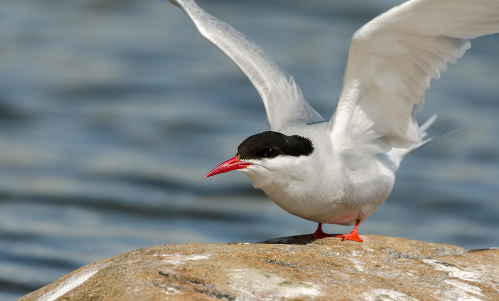 Arctic terns ( Sterna paradisaea ) can be found nesting in the Athabasca Dunes Ecological Reserve. Photo by Kristian Pikner, CC BY-SA 4.0