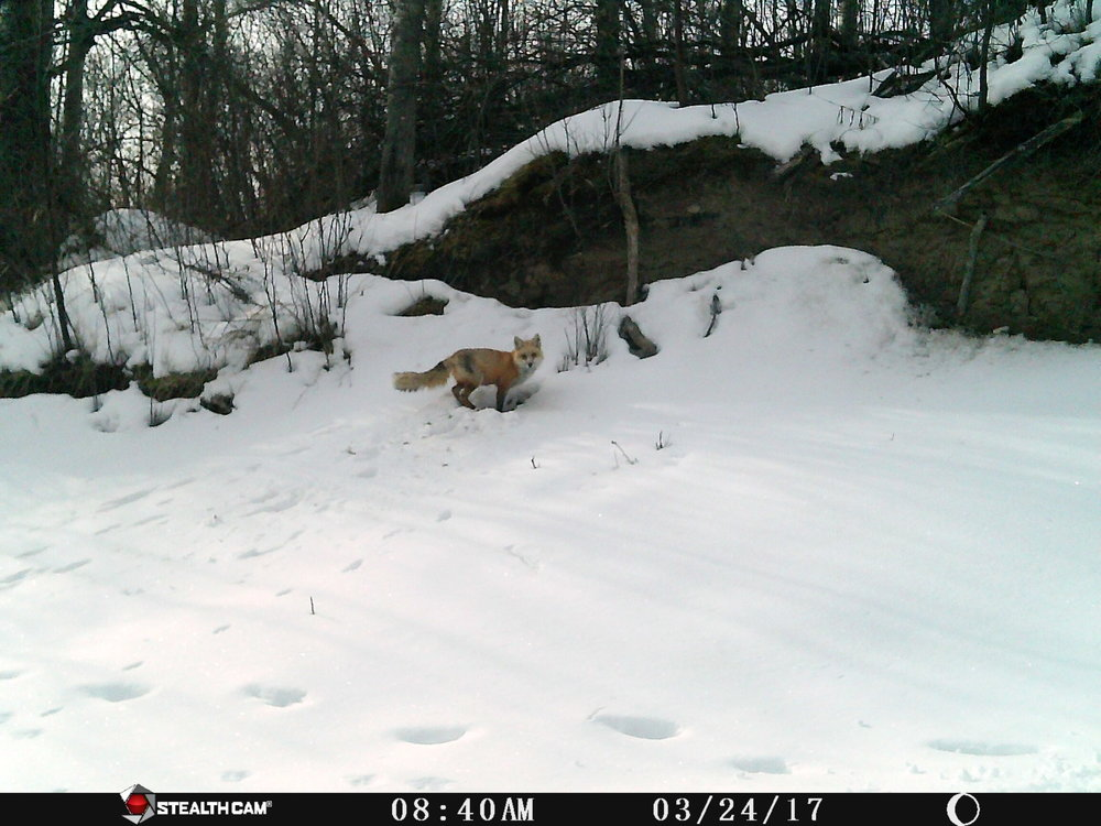 Red Fox at Glory Hills
