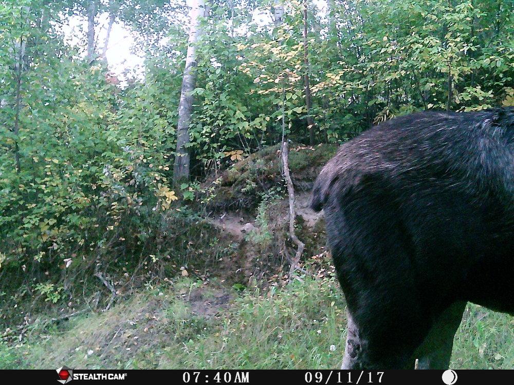 Moose at Glory Hills