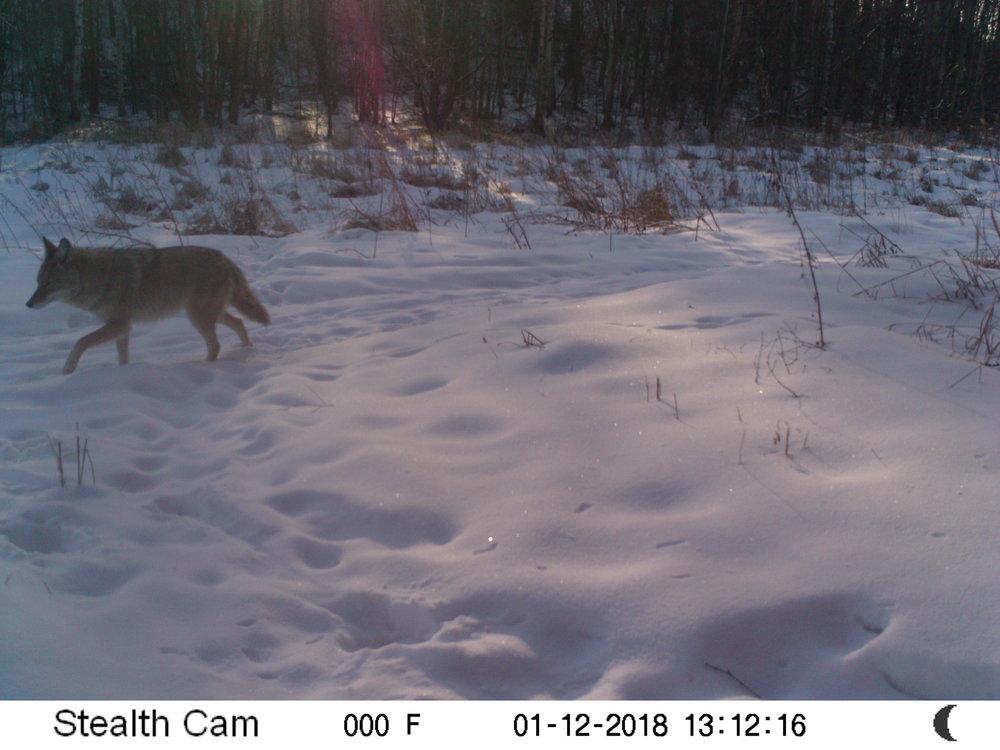 Coyote at Glory Hills