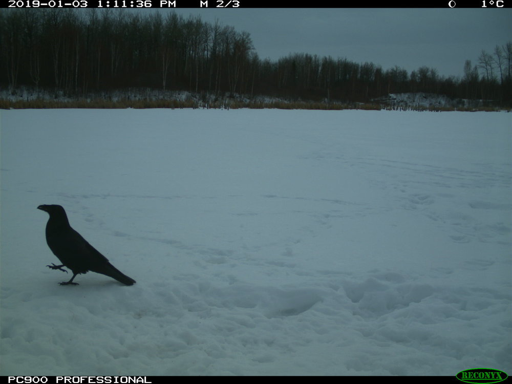 Raven at Lu Carbyn Nature Sanctuary