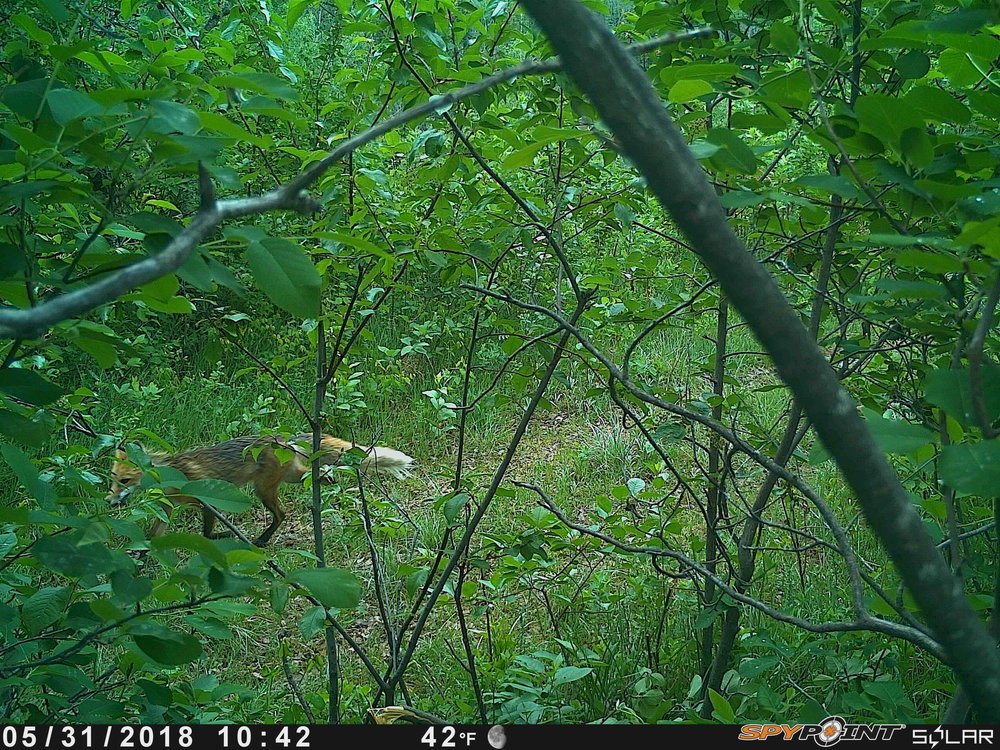 Red Fox at Coates
