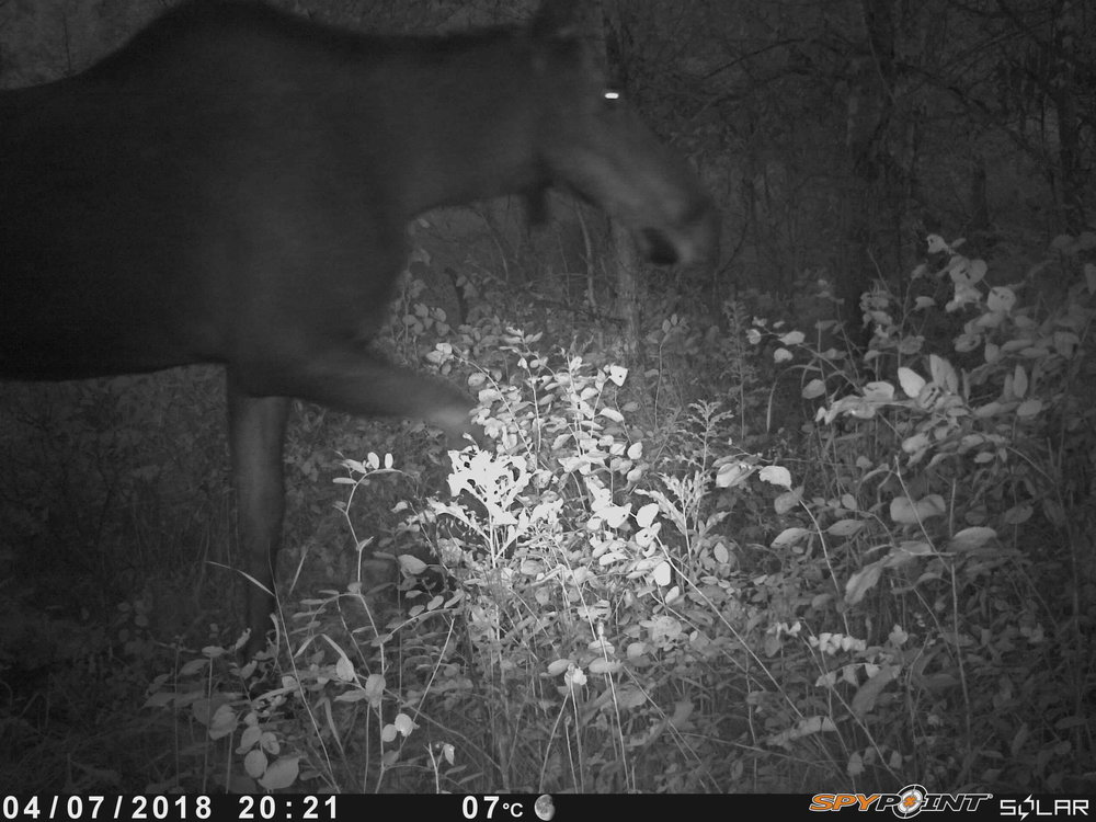 Moose at Smith Blackburn Homestead