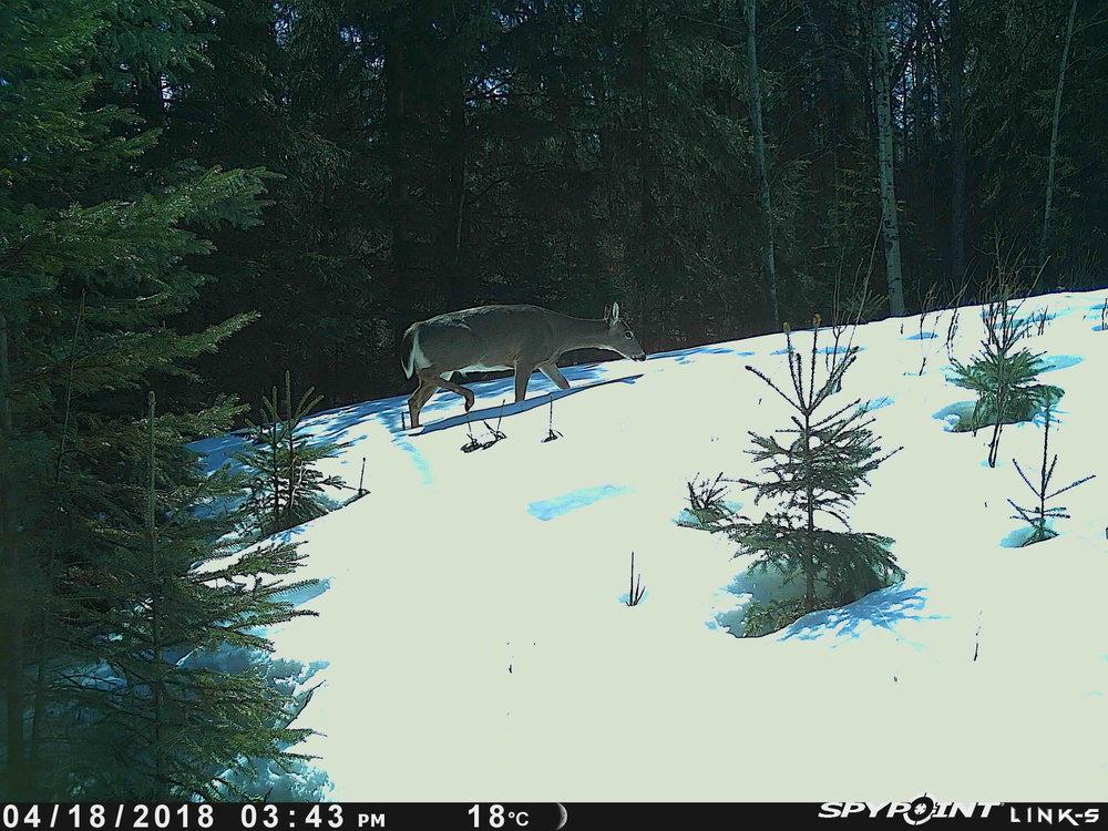 Deer at Bunchberry Meadows