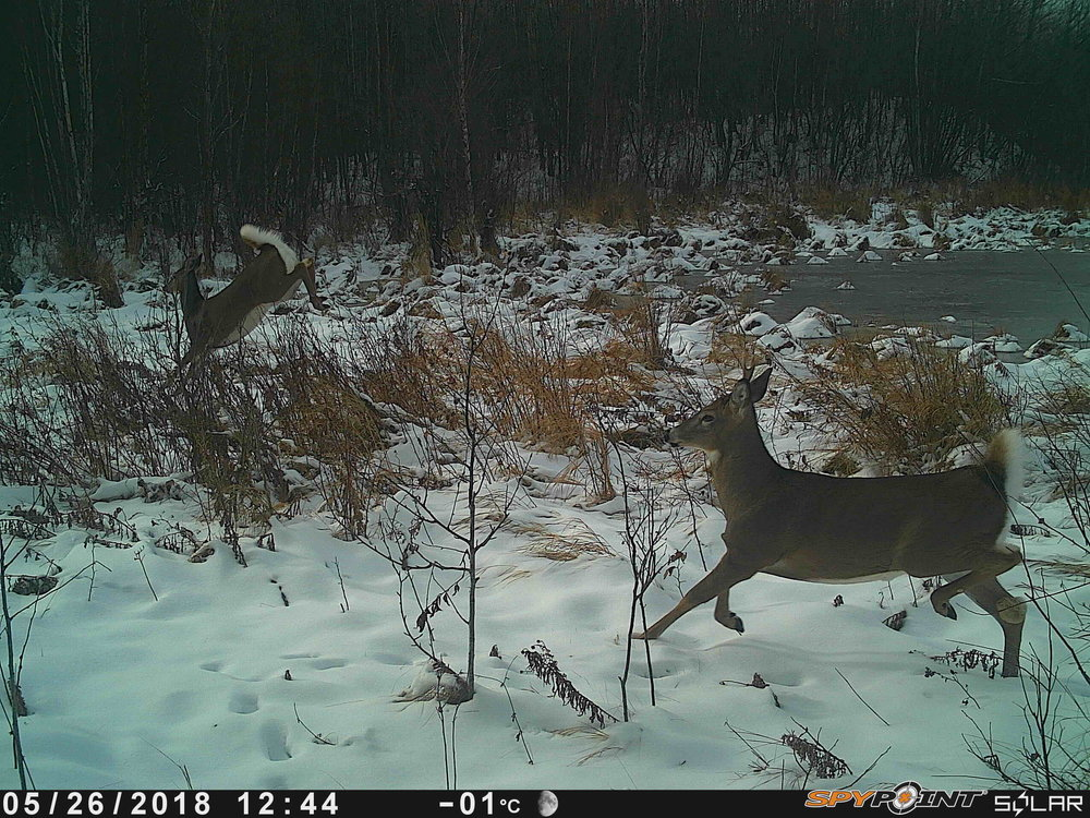 Deer at Smith Blackburn Homestead