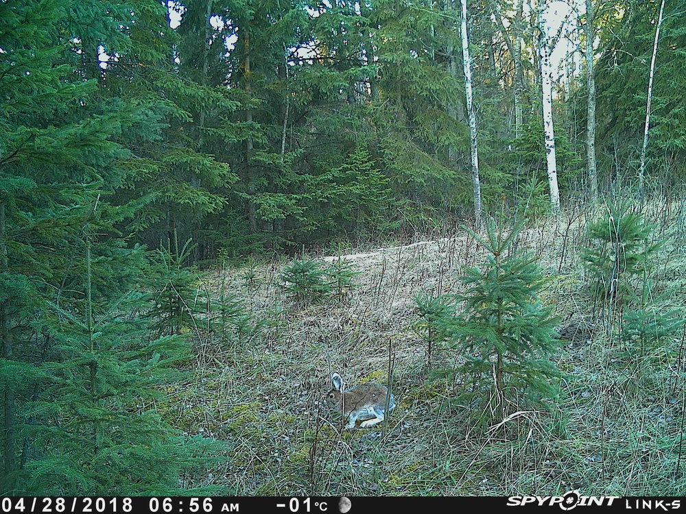 Snowshoe Hare at Bunchberry Meadows