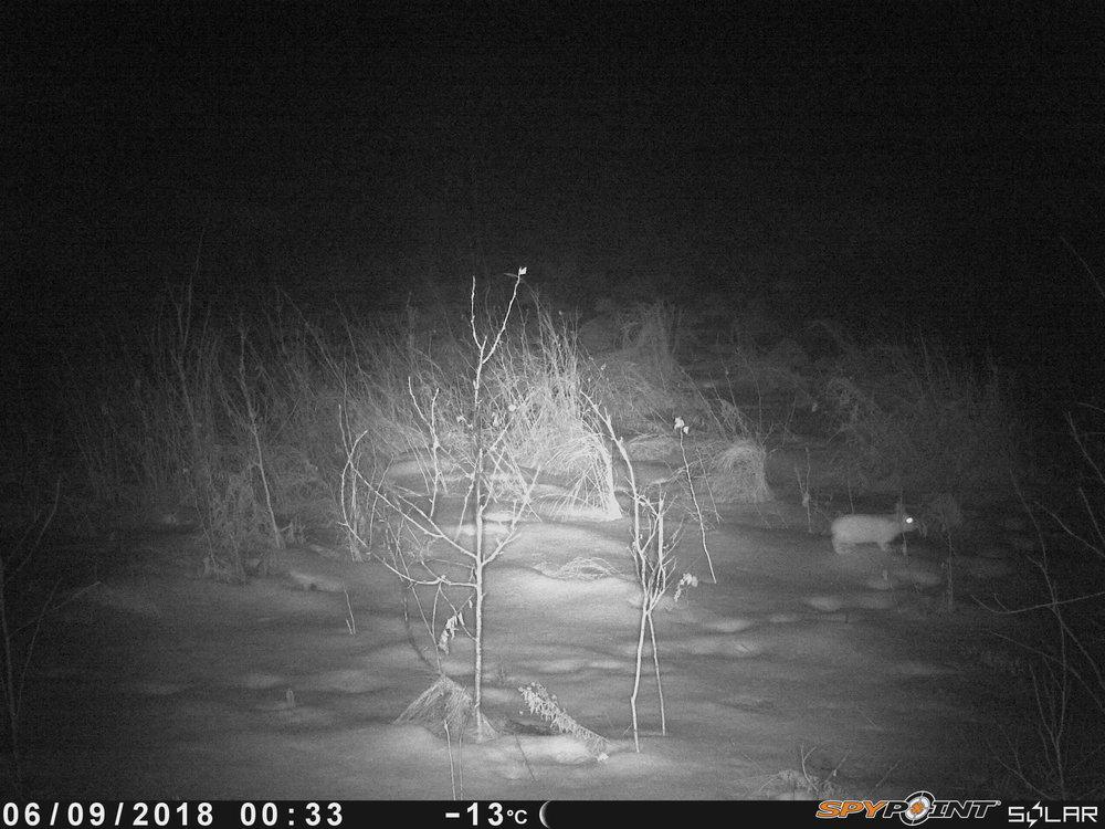 Snowshoe Hare at Smith Blackburn Homestead