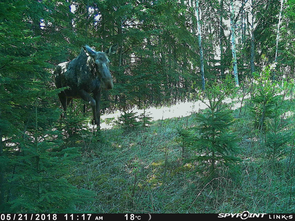 Moose at Bunchberry Meadows