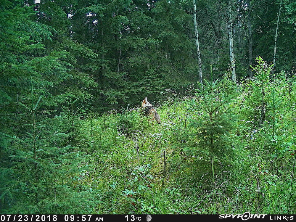 Coyote at Bunchberry Meadows
