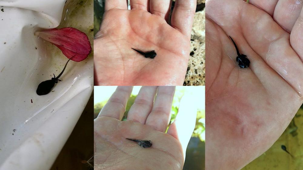 Unsere Kaulquappen wachsen und gedeihen... die Hinterbeine sieht man schon. Sie ernähren sich von unseren Moossteinen die wir in den Teich getan haben.