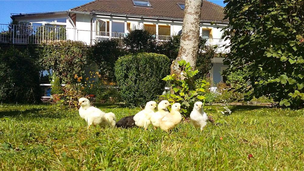 Look who is waiting? Geduldig warten die 7 Küken darauf, daß ihre 'Pflegeeltern' gleich nach den Hausaufgaben in den Garten kommen und mit ihnen wieder spielen. Schwimmbad und andere Freizeitaktivitäten sind zur Zeit unattraktiv ;) Alles dreht sich nur noch um das Wohlergehen der Neulinge. Sie sind sehr anhänglich, lieben die Nähe der Kinder, und hüpfen auch jedem gleich auf die Hand.☺