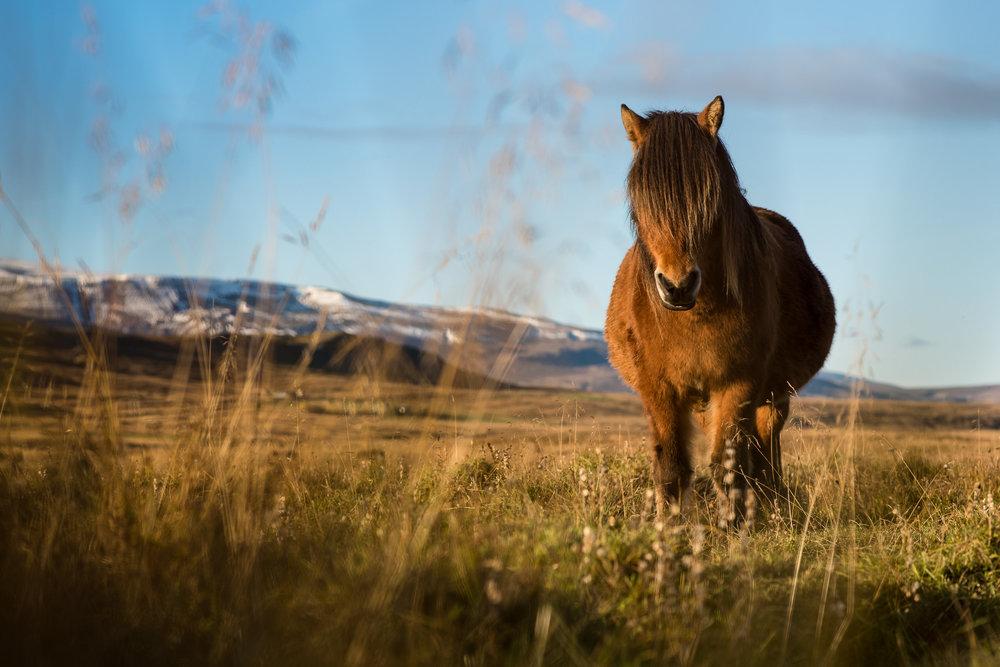 Pregnant photographer portrait of a pregnant Icelandic horse.