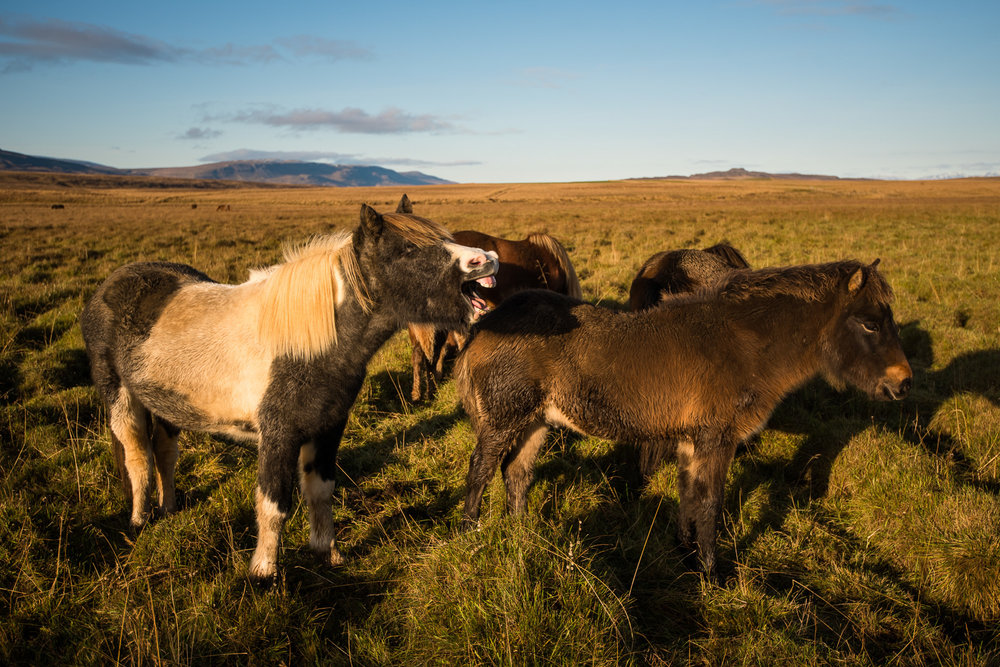 Never enough Icelandic horses.