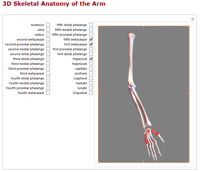 3D skeletal anatomy of the arm