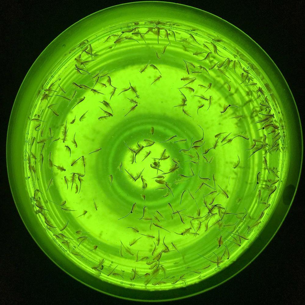 37 Tania Fiaccadori, Sea-Monkeys Cult, sea-monkeys (Artemia salina), glass, sea water, courtesy Dimora Artica, 2018.jpg
