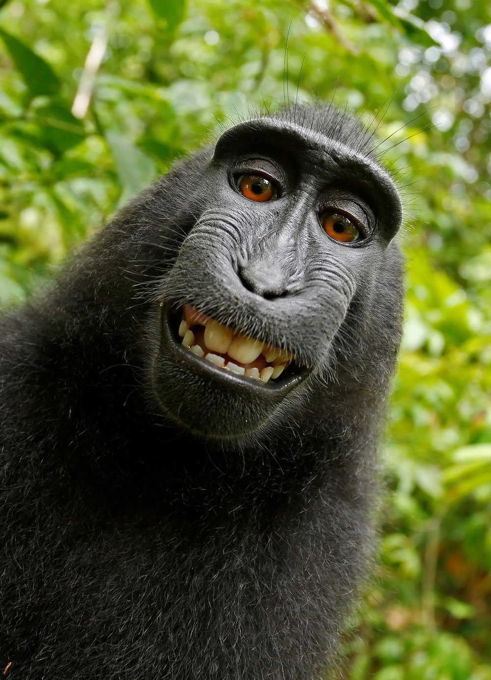 Self-portrait of female macaque in North Sulawesi, Indonesia who took the camera of photographer David Slater and photographed herself. 2011