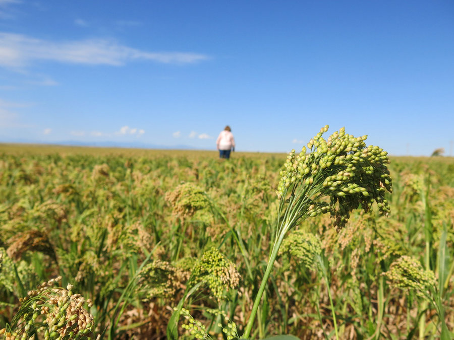 In Nunn, Colorado, first attempts to grow millet on American soil are taking place. Luke Runyon/Harvest Public Media
