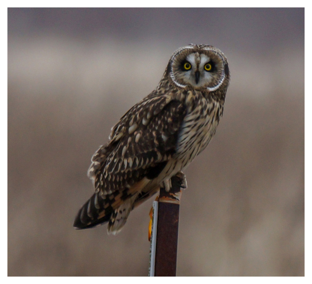 2014-01-18 Delta Boundary Bay Short Eared Owl-8