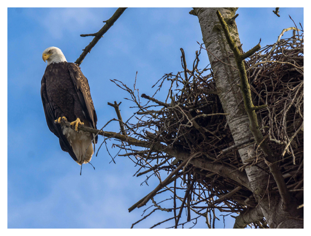 2015-02-22 Ladner Bald Eagles and Nest-12