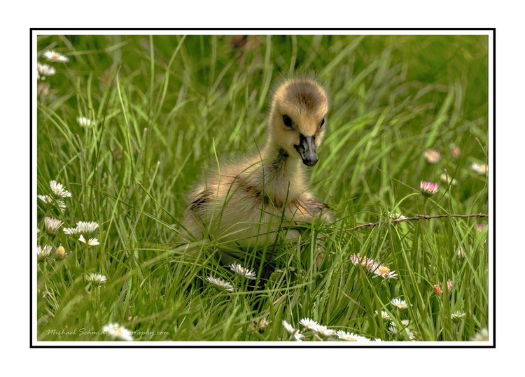 2014-05-17 Vancouver Stanley Park Canada Goose Gosling-10b
