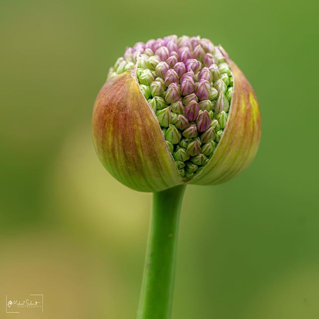 One of my favorite things about the spring- Allium flowers.  These are a very widely used ornamental flower in the gardens of Stanley Park.  As beautiful as they are when they open, I think I prefer them just as they are starting to pop open- just like this one is.  Absolutely gorgeous!. I'm posting to photos. Please comment and tell me which is your favorite and why.  Thank you very much for viewing my work, and thank you VERY MUCH for more than 2.1 MILLION views on my Flickr page:  https://www.flickr.com/photos/dmichaelschmidt/  That's unbelievable!! I really very much appreciate all the support I receive.  Receiving favorites and comments on my images is always appreciated!  I'm glad so many people enjoy my work. :-) Please Like me on Facebook: https://www.facebook.com/MSPhotographyVancouver Please don't forget to check out my other websites, which can be accessed through: http://www.michaelschmidtphotography.com If you'd like to contact me about my photography, or you'd like to purchase canvas or aluminum prints of my work or stock images, please contact me at :  dm.schmidt@shaw.ca Thank you.  #MichaelSchmidtPhotographyVancouver  #MSPixVancouver  #MichaelSchmidtPhotography.com  #https://www.flickr.com/photos/dmichaelschmidt/  #StanleyPark  #N ature  #vancouver  #vancitybuzz  #vancouverisawesome  #vancouverbc  #explorevancouver  #veryvancouver  #mustbevancouver  #flowers #flowerstagram #flowersofinstagram  #flowergram #flowerphotography #flowerart #simply_flowers #botanicalbeauty  #botanicaldaydreams  #Allium  #Green  #Purple  #photooftheday  #instabloom #instalike #instaflowers