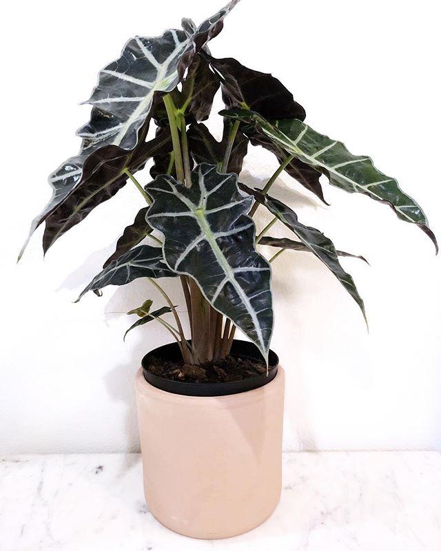2018 I'm limiting myself to 1 plant a week 😂😂😂!! Serious though this is (1/52) Alocasia amazonica [African Mask] . . . . . . #houseplantclub #plantsofinstagram #urbanjungle #plantsmakepeoplehappy #urbanjunglebloggers #plantlove #houseplant #iloveplants #plantparenthood #greebthumb #planthoarder #plantaddict #houseplants #plantenabler #plantlover #jungalow #greenthumb #plantnerd #houseplantclub #crazyplantlady #plantsofig #myplantaesthetic #indoorgarden #therealhouseplantofig #thehouseplantco #plantenabler