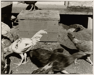 Janica Yoder, UNTITLED: CHICKEN SERIES, Gelatin Silver Print, 14 11/16 x 18 3/8 inches