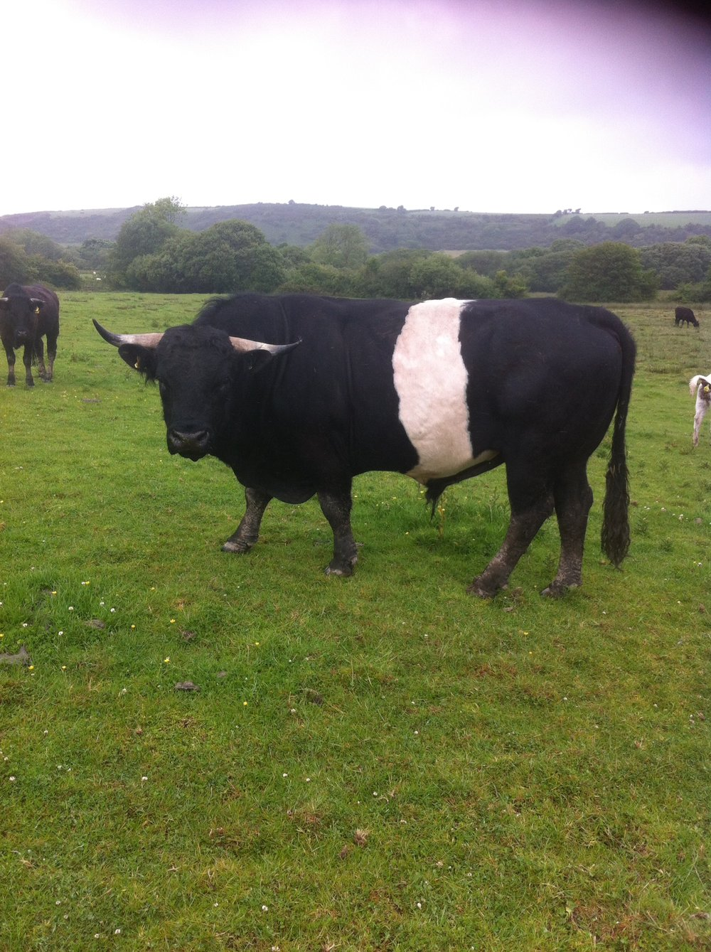 Belted Welsh black bull