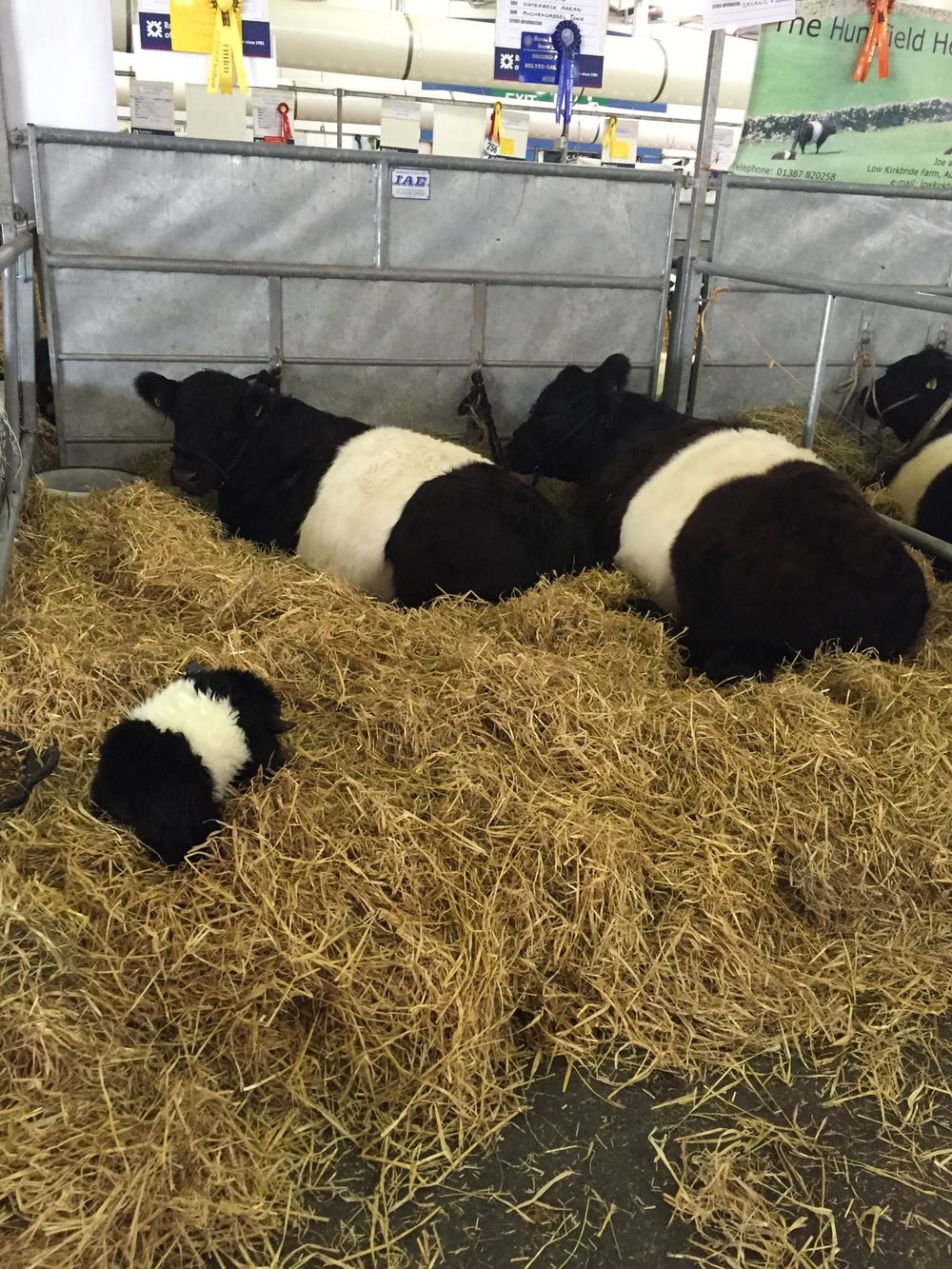 The naturally polled Belted Galloway with a pygmy FF Belty