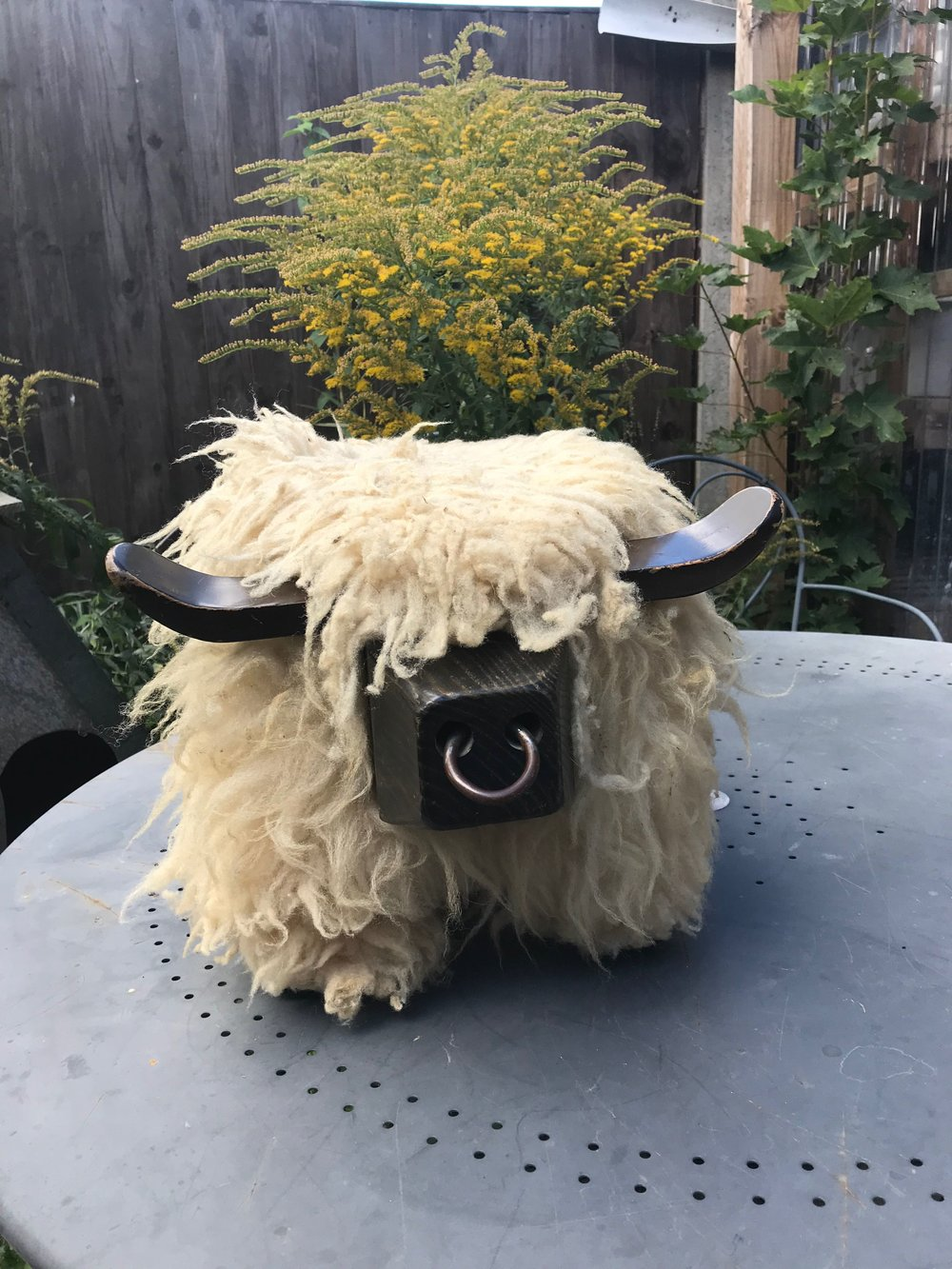 The Bull named Sheep arrives for surgery
