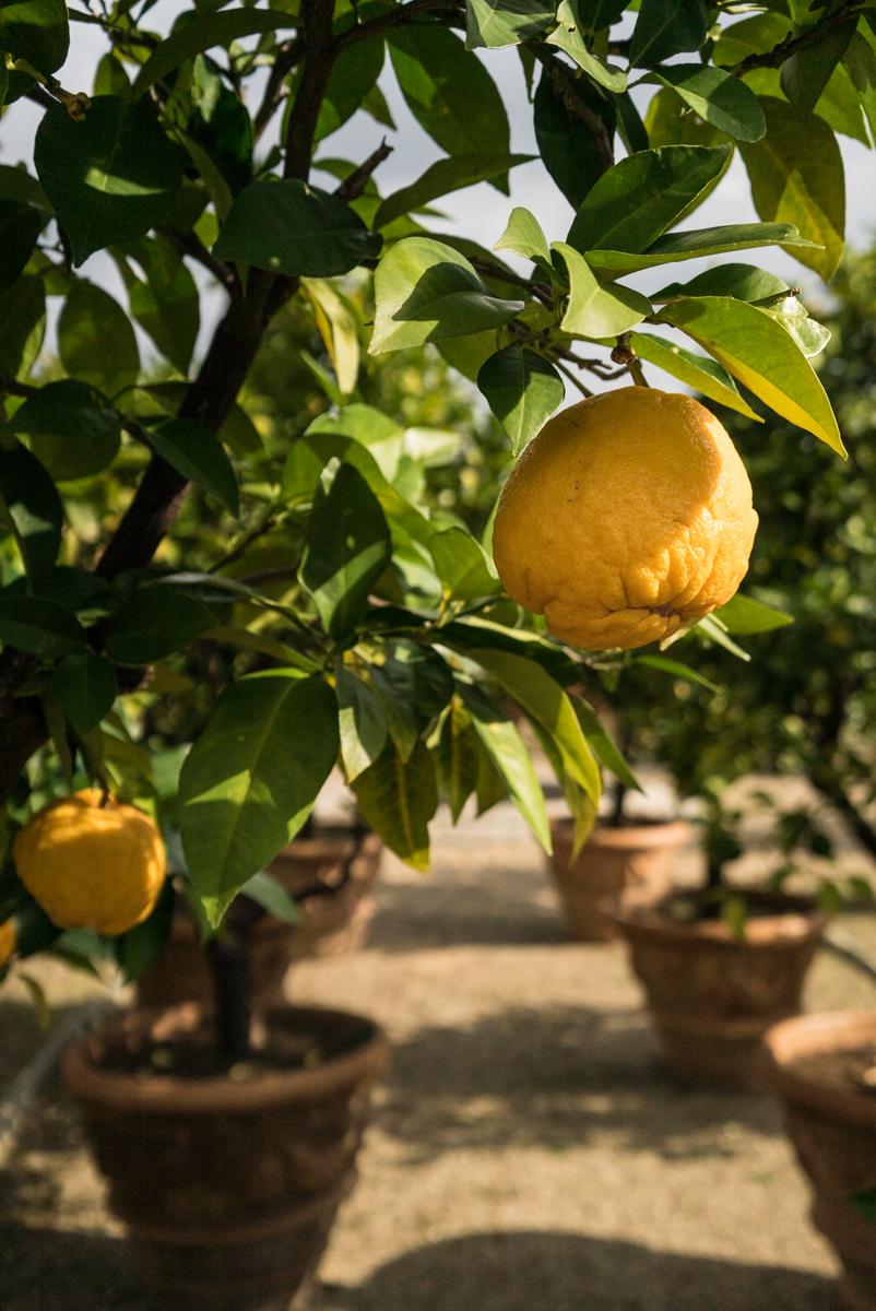 Gamberaia lemons