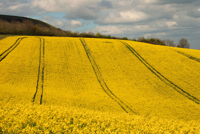 Sussex-field-of-rape-Lisa-C.jpg