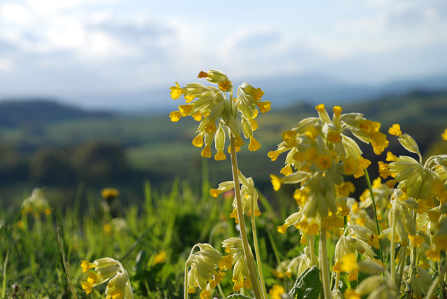 Wild-cowslips-in-my-garden-.jpg