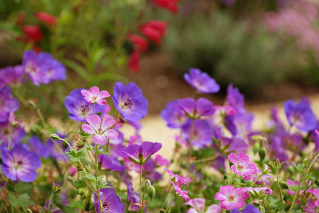 Geraniums-in-Leatherhead-ga.jpg