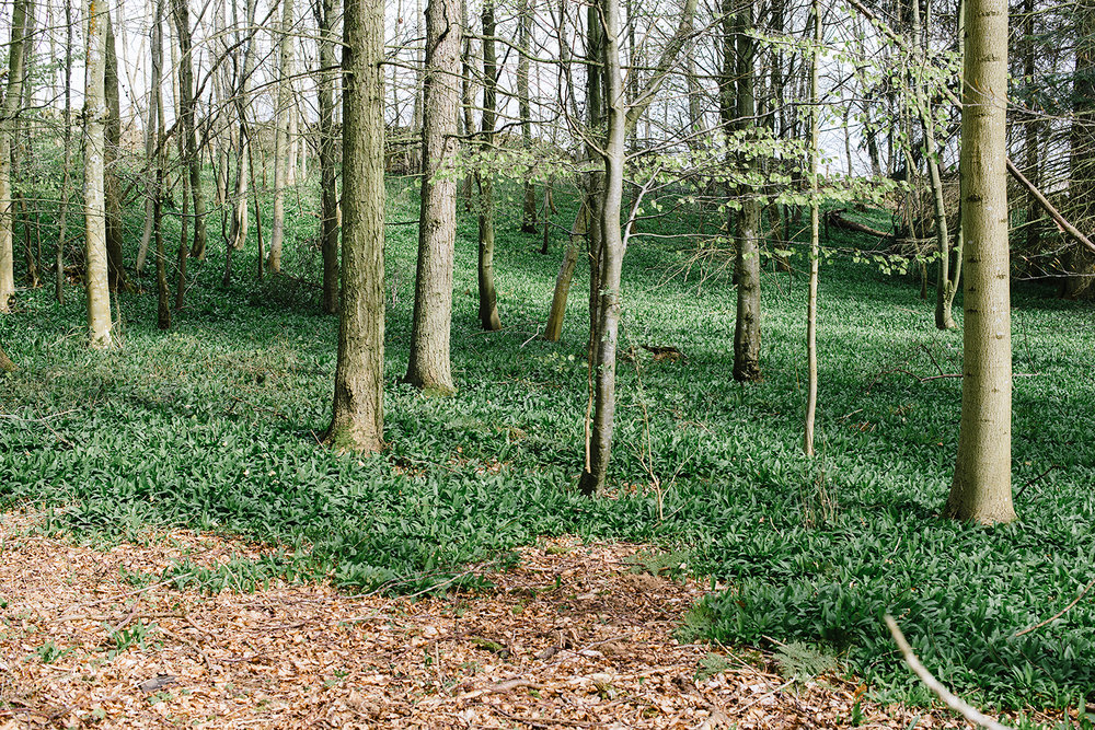 I found a whole field of wild garlic.