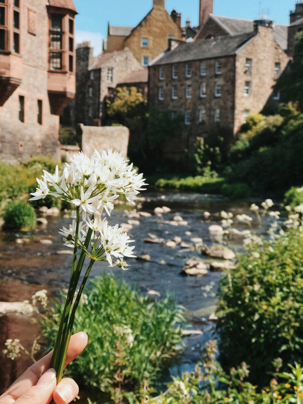 Wild garlic foraged by the Water of Leith, Edinburgh