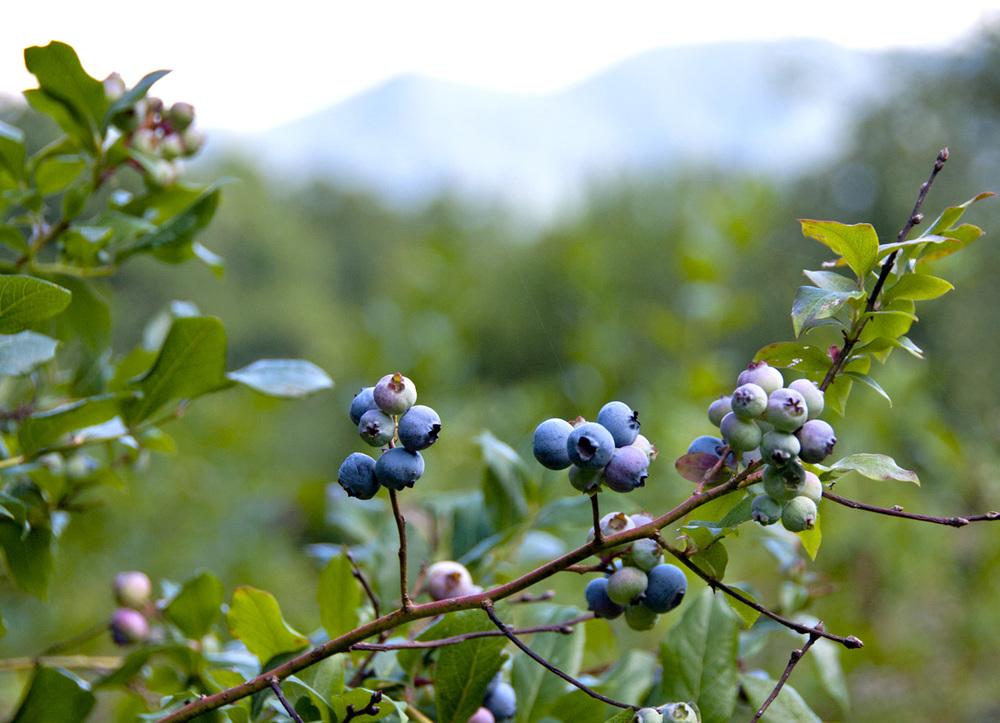 backyard blueberries 2.jpg