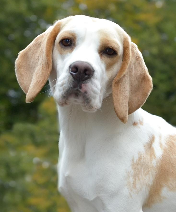 bute-rosanke-nolte-benruadh-beagles-home.jpg